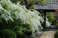 120417海蔵寺ユキヤナギ
