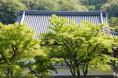 130415円覚寺新緑2