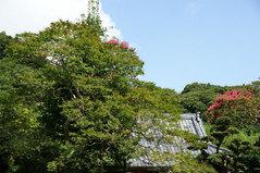 080816円久寺サルスベリ