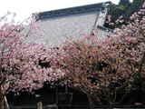 050416妙本寺カイドウ、ヤエザクラ