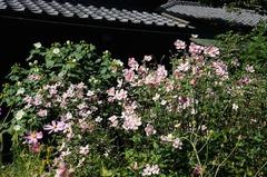 150930東慶寺シュウメイギク