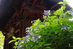 200617妙本寺アジサイ2