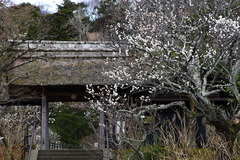 160215東慶寺ウメ1