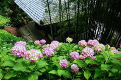 190611長谷寺アジサイ1