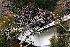 180226東慶寺ウメ2