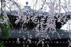 140330本覚寺シダレザクラ