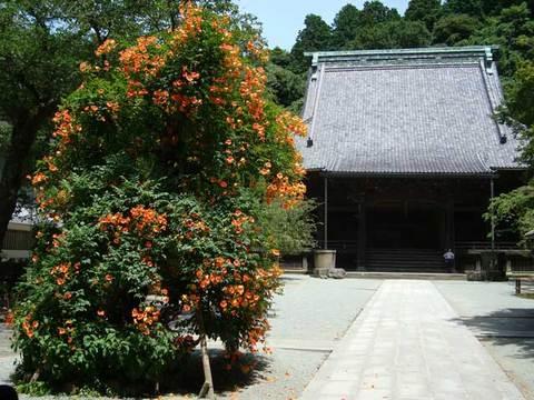 090715妙本寺ノウゼンカズラ1