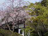 050416浄光明寺サクラ