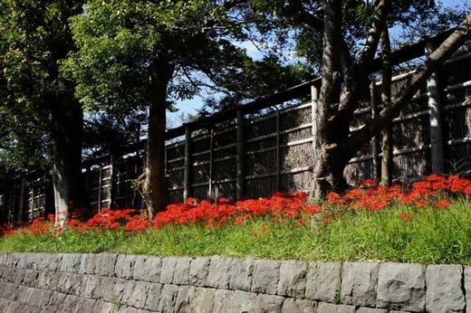 121005鶴岡八幡宮ヒガンバナ