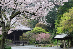160404妙本寺サクラとカイドウ