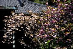 190415妙本寺ヤエザクラ