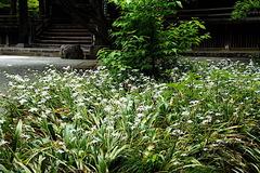 180502妙本寺シャガ