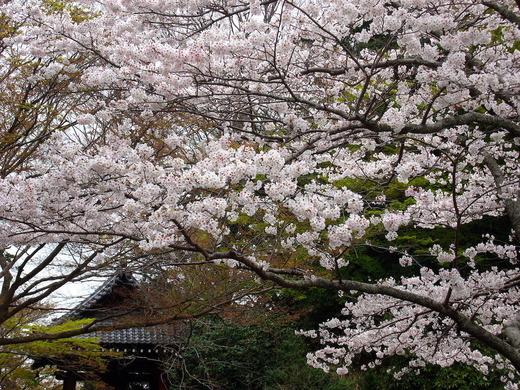 210325妙本寺ソメイヨシノ2