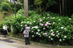 110618円覚寺アジサイ2