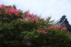 170813本覚寺サルスベリ