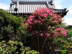 100810本覚寺サルスベリ