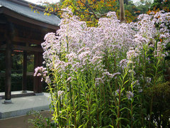 081105海蔵寺シオン