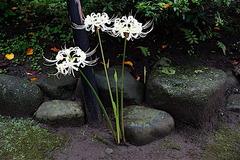 160914宝戒寺シロヒガンバナ