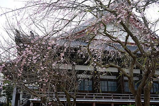 190322本覚寺シダレザクラ2