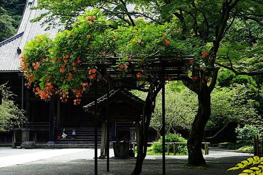 190718妙本寺ノウゼンカズラ1