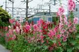 070609横須賀線タチアオイ
