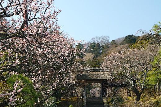 180313東慶寺ウメ3