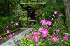 131017円覚寺シュウメイギク
