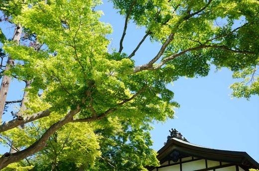 130503建長寺新緑