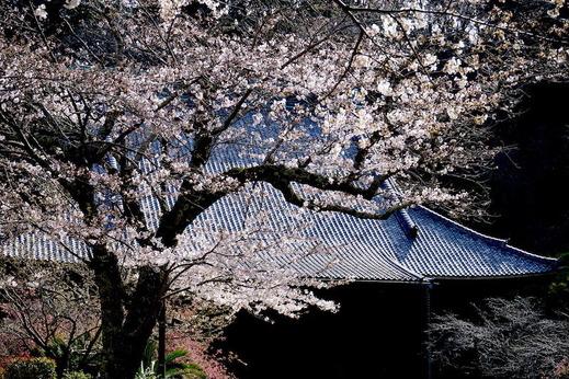 190325妙本寺ソメイヨシノ1
