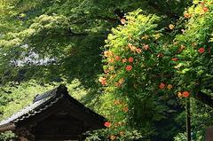 150710妙本寺ノウゼンカズラ3
