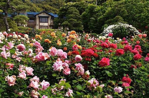 150517鎌倉文学館バラ2