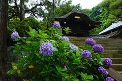 190625円覚寺アジサイ2