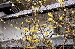 150107東慶寺ロウバイ