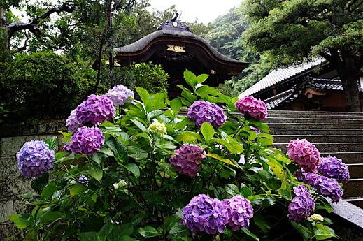 160623円覚寺アジサイ2