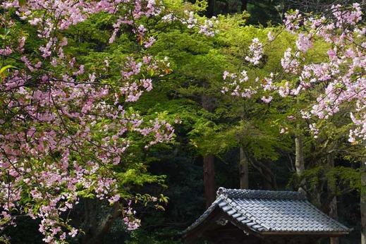 130401妙本寺カイドウ,新緑