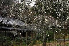 170312東慶寺ウメ2