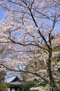 160331妙本寺ソメイヨシノ2