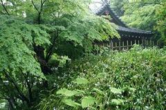 110511妙本寺新緑シャガ