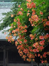 050723妙本寺ノウゼンカズラ