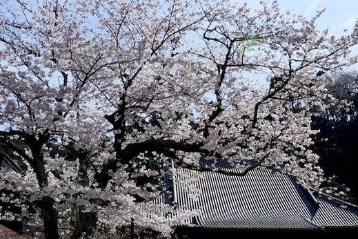 150329妙本寺サクラ1