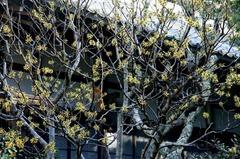 150219円覚寺マンサク