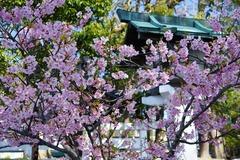 140316鎌倉宮カワヅザクラ