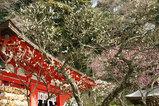 080216荏柄神社ウメ