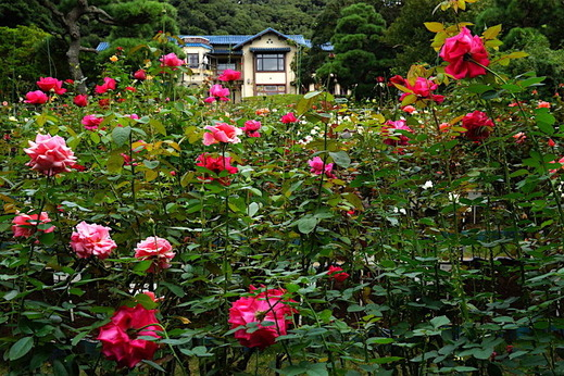 161019鎌倉文学館バラ1