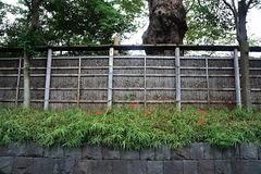160924鶴岡八幡宮ヒガンバナ2
