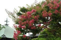 120814本覚寺サルスベリ