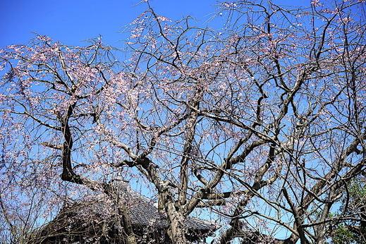 200318本覚寺シダレザクラ