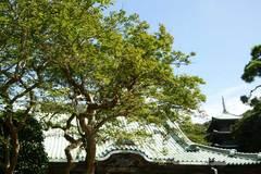 090808龍口寺サルスベリ
