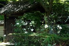 140926瑞泉寺シュウメイギク
