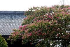 090822本興寺サルスベリ